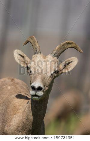 a close up portrait of a desert bighorn sheep ewe