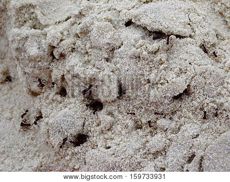 Black ants going out from white sand anthill