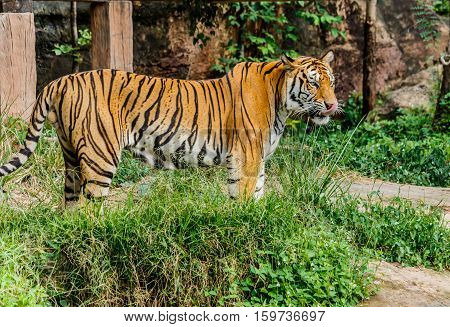 Big Bengal Tiger in asis thailand forest