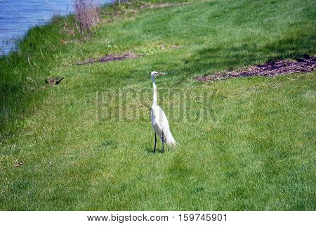 A great egret (Ardea alba) stands near the shore of a small lake in Joliet, Illinois during May.