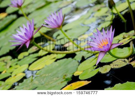 water lily, water flower, water lotus on natural background