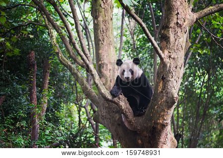 Giant Panda sitting in a tree and looking at camera - Chengdu Sichuan Province Chengdu