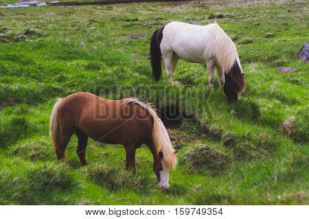 equine livestock horses graze on pasture land grass