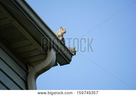 Two eastern gray squirrels (Sciurus carolinensis) survey the landscape from the gutter on the roof of a house in Joliet, Illinois.