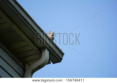 An eastern gray squirrel (Sciurus carolinensis) looks down from the gutter on the roof of a house in Joliet, Illinois.