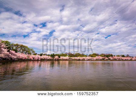 Washington DC Tidal Basin during peak spring cherry blossom season