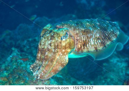 Portrait of Pharaoh Cuttlefish on a tropical coral reef Andaman Thailand