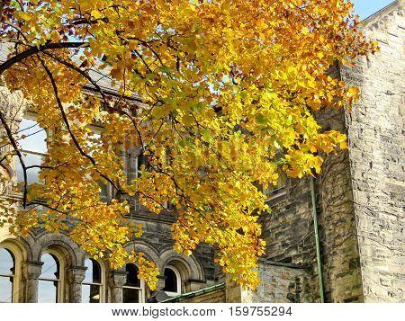 Toronto Canada - November 18 2016: Autumn tree near Gerstein Science Information Centre at the University of Toronto.