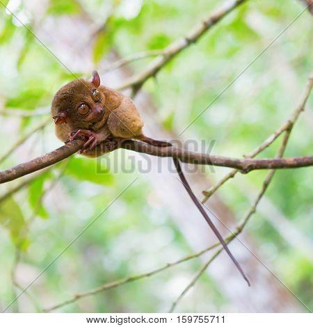 Philippine Tarsier (tarsius Syrichta), The Smallest Primate In Natural Environment