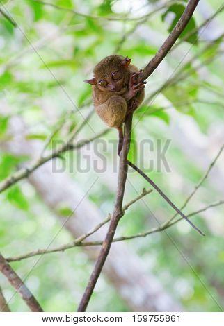 Philippine Tarsier, Smallest Primate In The World