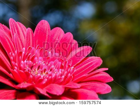 Close-up of red Gerbera Daisy beutiful bokeh background stricking detail with soft accents.