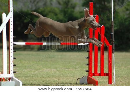 A beautiful Weimaraner dog jumping a hurdle in agility training in the park poster