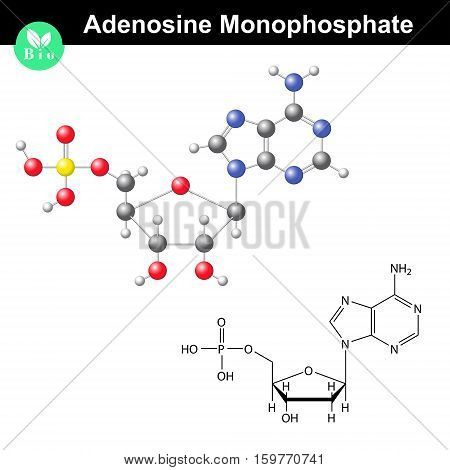Adenosine monophosphate chemical structure and model AMP is nucleotide monomer of RNA molecule scientific 3d vector illustration isolated on white background eps 10