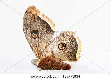 The beautiful giant silk moth butterfly called Cecropia Moth isolated on white background