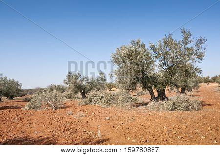 Olive groves in Brea de Tajo, Madrid, Spain
