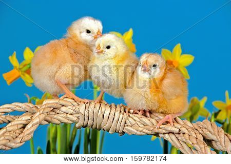 Three chicks few days old sitting together among flowers