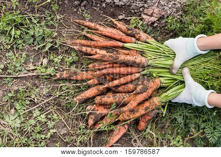 Top view on woman's hands holding bunch of fresh organic carrots on soil background. Autumn harvest and healthy food concept