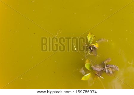 Top view on dirty yellow water with plants in it.