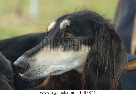 Dog Breed Saluki