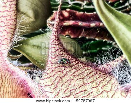 Bug On A Petal Of A Carrion Flower Stapelia Blossom