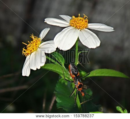 milkweed assassin bug climbs a white flower