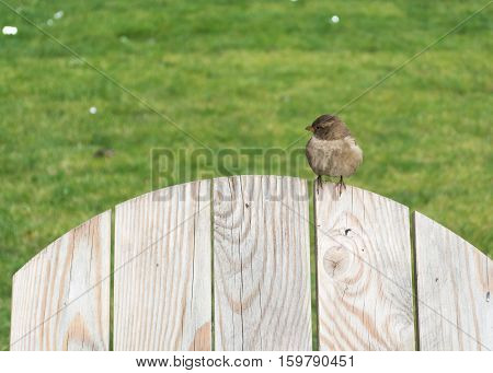 Auburn sparrow sitting on the wooden back of a chair or a fence. Looks to the left
