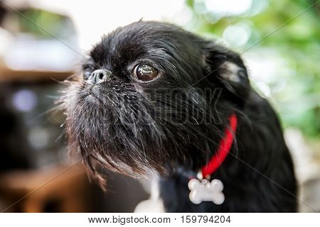 Portrait Of Pedigree Dog Belgian Griffon