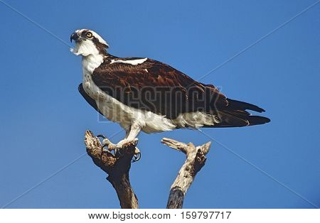 Osprey (Pandion haliaetus) perching on branch