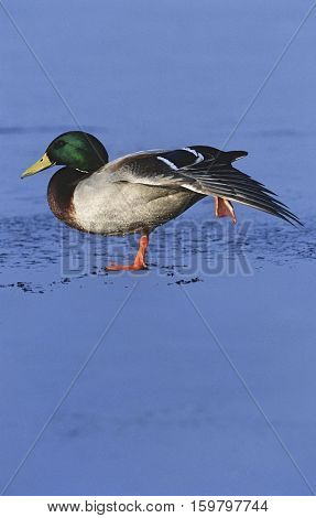 Male Mallard duck (Anas platyrhynchos) on ice, side view