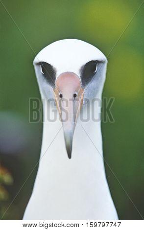 Close-up of Laysan Albatross (Phoebastria immutabilis), front view