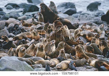 USA, Alaska, St. Paul Island, colony of Northern Fur Seals on rocky shore