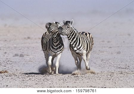 Namibia, Etosha Pan, two Burchell's Zebras running side by side