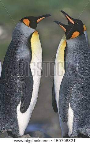 UK, South Georgia Island, two King Penguins opposite each other, side view