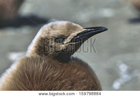 UK, South Georgia Island, juvenile King Penguin on beach, close up