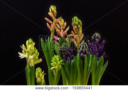 Close-up of hyacinth flowers. Photography of nature.