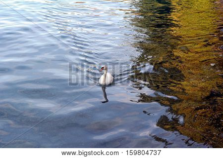 white swan in the water's edge in switzerland