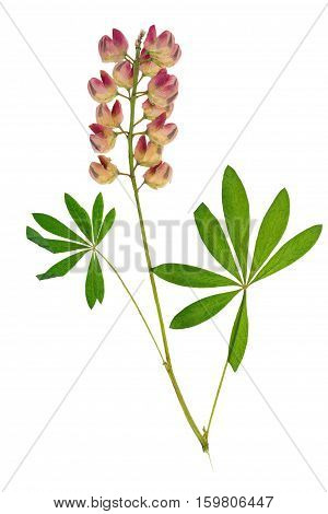 Pressed and dried flowers pink lupine on stem with green carved leaf isolated on white background. For use in scrapbooking floristry (oshibana) or herbarium.