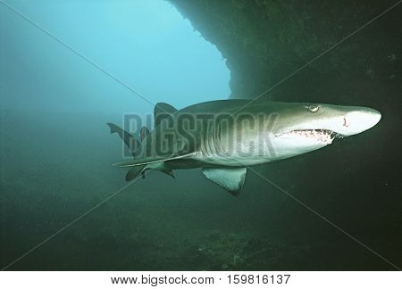 Aliwal Shoal, Indian Ocean, South Africa, sand tiger shark (Carcharias taurus) in underwater cave