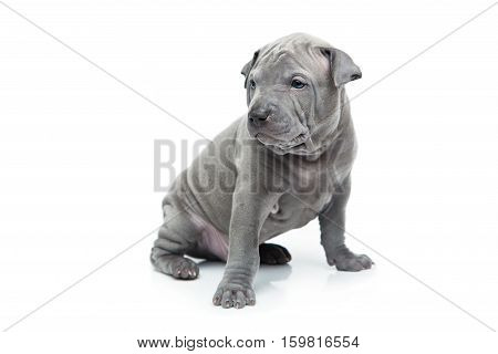 One month old thai ridgeback puppy dog sitting. Isolated on white. Copy space.