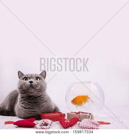 Grey British Shorthair Cat Looks Up Lying On The Floor Before Aquarium With Golden Fish