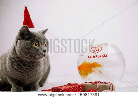 Busy British Shorthair Cat In Red Christmas Hat Sits Before Aquarium With Lettering '14 February'