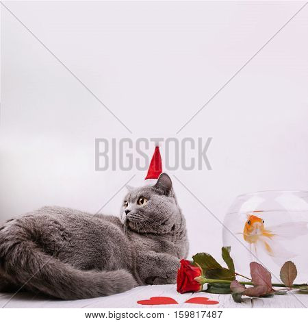 Red Rose Lies Before Grey British Shorthair In Red Christmas Hat And Aquarium With Golden Fish