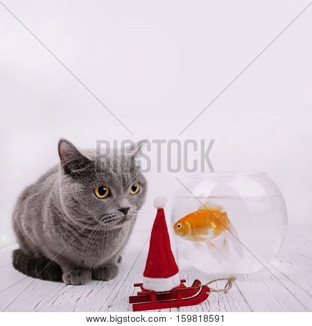 Christmas Hat On Little Red Sledge Stands Before Grey British Shorthair Cat And Aquarium With Golden