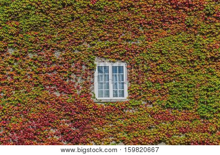 Ivy Creeper On A House Wall
