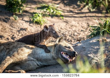 Bonding Spotted Hyena In The Kruger National Park, South Africa.