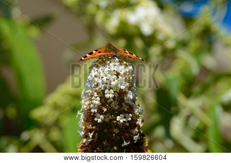 Beautiful monarch butterfly on butterfly bush ready for take off with a green background