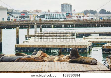 Many Sea Lions On Pier 39 In San Francisco