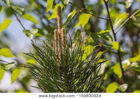 Green pine branch with blossoming flowers .