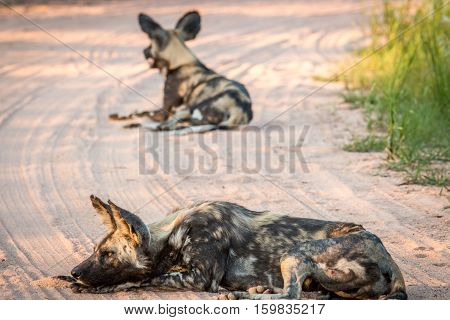 Resting African Wild Dog In The Kruger National Park, South Africa.