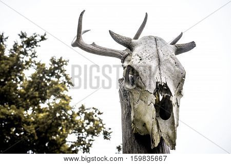 Close-up photography of horned cow's grey skull
